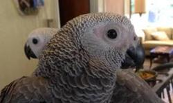 I am rehoming my Congo African Grey parrot. He is very loving and gives kisses and he enjoys sitting on your shoulder. He has a very extensive vocabulary and he picks up new phrases easily. He does not pluck, scream or use foul language and is a very