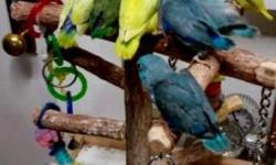 """Babies Parrotlets availables now...with Leg band & Hatch Certificate. Ideal for condos or Apartment living,beautiful color, healthy, tame with a lot of personality, capable of speech, quiet called """"Apartment birds"""", Giving support and wings clipped if u"""