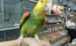 SUPER SALE TAME AND TALKING DOUBLE YELLOW HEAD AMAZON AND TAME TALKING BLUE FRONTED AMAZON HAND FEEDING BABY GREENWING MACAW, ULTRA SWEET BABY BLUE AND GOLD MACAW ALSO AVAILABLE TAME TALKING AFRICAN GRAY PARROT SWEET HEART WHITE BELLIE CAIQUES LARGE