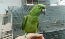 HAND FED BABY COCKATIELS AND LOVE BIRDS. LARGE SELECTION TAME AND TALKING PET BIRDS *YELLOW NAPE AMAZON *CUBAN AMAZON *GOFFINS COCKATOO *CONGO AFRICAN GREY *FEMALE SOLOMON ISLAND ECLECTUS *RAINBOW LORY MANY MANY MORE...NEW BIRDS ALL THE TIME. CALL TODAY
