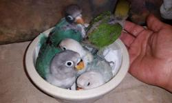 Lovebirds and cockatiels Rosie bourke $80 Red rump $100 Rosella $150 Call or text 305-975-7887