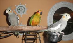 TAME, HAND FEED , HEALTH 4 MONTHS OLD. 2 COCKATEILS ; $40.00 EACH ONE SUNCONURE: $200.00 LEAVE YOUR NAME AND PHONE # IF NO ANSWER, THANKS