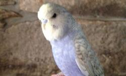 I have one beautiful very unique mint green color hand tame male English Budgie for sale.He will make a wonderful pet and should be a great talker. I also have ten babies of all different colors still in the nest box. First come first serve. $75. each