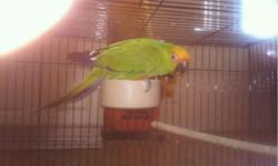 I have a beautiful gold capped conure female she's tame with everyone loves kids and other animals really playful and not loud Call or text 714 487 1462