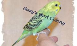 I have two female green Quaker that are just about weaned. They have been DNA tested and the fee for that is included in the total price of the bird. You will receive a certificate with the results on it. Very sweet birds that loves to be held. Wings are