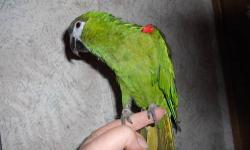Tame mini macaw, this little bird is full of spirit and very playfull. It will step up and talks really good for a little bird.. It is eating seeds and starting on pellets and veggies, likes some but not all yet, still kinda picky. It is great looking and