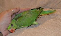 """Green and Cinnamon grey green Indian Ringneck. Being hand fed now. When full grown the bird will be about 17"""" long and have the ability to talk clearly. Both males and females have this ability. The males will get a ring around their neck when they're"""