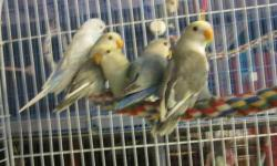 I have several Baby Love birds and Budgie babies that are ready for new homes. We have several colors and size budgies, all are tame Give us a call for more info and we can set up a time to come see them. 1-717-529-3785