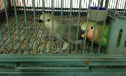 I have two baby peachface lovebirds left. They just started eating seeds on their own and they are very tame. If interested email or call 305-803-5008. This ad was posted with the eBay Classifieds mobile app.