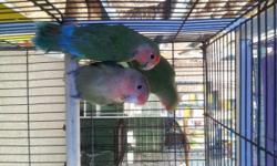 Arrieros Pet Shop has 3 tame lovebirds.. for more information please contact: 619-677-3269 Arrieros Pet Shop 2550 Imperial Ave San Diego, Ca 92102 se habla espanol