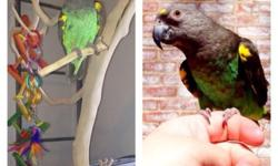 4 years old. Very tame Meyers parrot. Wings are clipped. Prefers females but will goto anyone. Get a little nervous and flaps his wings while sitting on your finger. Does not like fast movements. Will come with a cage. Very nice bird This ad was posted