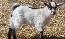 Twin brothers 'Fudge' (chocolate colored) and 'Cloudy' (white and gray) were born on February 28, 2013. Their mother is a brown Katahdin Pygmy Goat and their father is a white and gray Pygmy Goat. Both are friendly and will come up to you on their own to