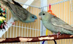 """tamed and handfed parrotlets for sales,,Perfect gifts for love ones """"Happy Valentine's Day"""" male and female available,,,send text message only @ 619-316-1007 ask Lernel."""