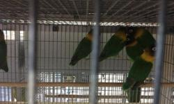 lots of young handfed tamed male/female parrotlets available call 619-316-1007 for more info...
