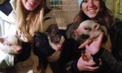 Miniature Pigs fun for the whole family! Trainable miniature pigs that are a great family pets! They may be small in size but they are as smart as any dog! Easy to train, anything from sit and stay to house breaking! Great addition to any family! Pigs may