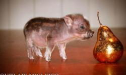 * Teacup Miniature Juliana Piglets* We raise the Sweetest & Smartest Juliana piglets raised in Our Home with kids & dogs. All Piglets ARE Sold Fixed, or Spayed, Micro chipped, Vaccinated, Eye teeth Cut, A pig manual, a health Certificate from the Vet, and