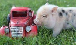 *Teacup Miniature Male Piglet Available* All piglets are raised in Our Home & Sold Fixed, or Spayed, Micro chipped, Vaccinated, Eye teeth Cut, A pig manual, a health Certificate from the Vet, and a 25 pound Bag Of Mazuri piglet feed. We Welcome Farm