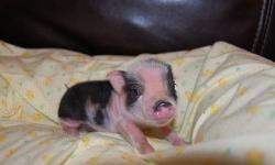 Hurry 2 left!! **We have a new litter. Reserve yours now with deposit. Close ups to come soon** We have new babies! For sale are 6 Micro Mini teacup Piglets. Many HAVE BLUE EYES!! They are TRUE Mini Pigs! The parents are both less than 20lbs. The parents