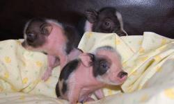 **We have a new litter. Reserve yours now with deposit. Close ups to come soon** We have new babies! 2 Left! For sale are Micro Mini teacup Piglets. They are very tiny!! They are TRUE Mini Pigs! The parents are both less than 20lbs. The parents are so
