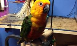 This jenday conure is absolutely beautiful and available. This baby is ready for a new home now! So playful and fun! $350. Northeast PA 18058. We do ship for $125 and we can DNA for $25 extra if wanted. Any questions please contact me thank you!