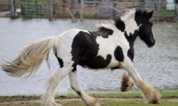 Thor is a black and white Tobiano colt, and will make a great stallion for breeding and bringing size into your herd. Or else a gentle, loving colt to be your favorite horse to ride. He would make a great 4-H project, trail rider, or any discipline you