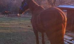 Thoroughbred - Chevy Love - Large - Adult - Female - Horse Chevy is a wonderful girl, seeking her forever home to love and adore her. She was part of a neglect case, which has recently been settled. Chevy was extremely malnourished when we rescued her