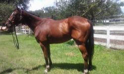 10 years old and 16 hands bay colored. Flashy looking, excellent conformation, would make a nice show horse/dressage. $1500 obo. Goes English or Western, will win you lots of ribbons, he's gorgeous and loves people! Please CALL 813-245-4008. I do not