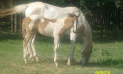 $300 FOALS, FILLYS, YEARLINGS AND 2, 3 4, YEAR OLDS ABOUT TWENTY (MALE/FEMALE) TO CHOOSE FROM. APPOINTMENTS FLEXIBLE DELIVERY AVAILABLE FOR $100 PER TRIP. HEALTHY. TWIN MULE STUD COLTS AVAILABLE BORN 2/2016. MARES WITH MULE COLTS DELIVERED 2/2017 STUD