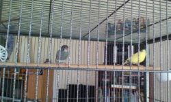 Large flight bird cage gray powder coat, great condition, 15lb of bird food(red and yellow egg, song bird, supreme canary food). Purebred Timbrado Male blue/white and female yellow variegated 1 1/2 years old, both have pure white canary genes. Nesting
