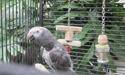 TIMNEH AFRICAN GRAY 20 YEARS OLD NOT TAME WITH LARGE PARROT CAGE, TOY AND DISHES. PLEASE CALL (775) 359-1089