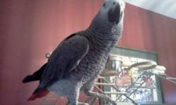 Friendly tame African Grey talks Healthy likes fresh fruits and vegtable, pellets and some table food asking $450 cash only, FIRM no TRADES Add stays till Bird is gone no cage http://youtu.be/tJIN778wnfg
