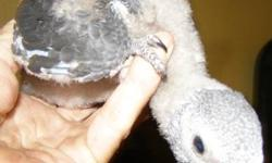 Hatched 5/3/2013 Timneh African grey baby for handfeeding. highly recommended that you already have experience hand feeding baby parrots. currently being fed formula and will need to be hand fed for about another month till weaned. . $600. 229 253 9705