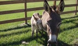 1 jack mini donkeys. 4 mos. 1 spotted. ready to go. 601-953-0303