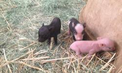 Taking deposits now on our adorable tiny teacup piggies born this week. Both parents on site. $900-$1200. 760-473-2442 This ad was posted with the eBay Classifieds mobile app.