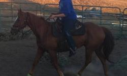 Nice 14 hand, nine year old mustang gelding. (have mustang papers) Built like a little brick(you-know-what) house! Neck reins and can move out quick in the arena or just walk down the road. Goes out alone or in groups. He is an alpha little dude in the