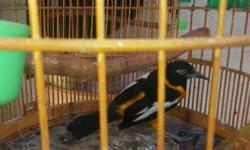 I have this beautiful birds for sale great singers