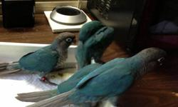 Beautiful Tame Hand-raised Baby Conures for sale. I raise Turquoise and Cinnamon Turquoise Green Cheek Conures. Gorgeous sweet healthy close-banded babies. Prices range from $250 - $300 depending on color mutation, please call for more info !