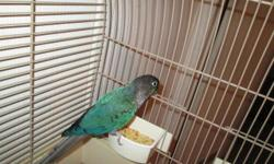 Bingo is a young Male, Breeding age year and a half old, very nice turquoise. conures are fairly quiet making them great apartment birds.Green Cheeks are Wonderful little parrots that are most playful and loving. They are curious, energetic and great
