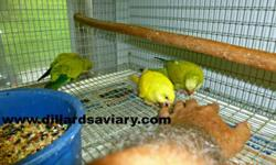 I have this Red Fronted Opaline Yellow Turquoisine for sale. She only has a small amount of red on her back and wings, but that small amount makes her an Opaline. She is 2 years old, ready to breed with YOUR male. I do not have a male to go with her, that