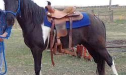4 year old gaited and papered 15h TWH gelding- I would consider him green- but he has been down the city streets and country trails- Needs more wet blankets. Gentle but prefer at least intermediate rider because he is gaited.