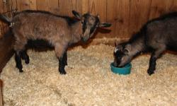 Twin Pigmy Goats Females - Very Friendly Born August 2011, So They Are Almost 2 Asking $150 Each Serious Inquiries Only Text/Call ONLY, Emails Will Not Receive A Response 508-245-3072