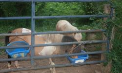 Two Beautiful Male Miniature Horses. Both Are Younger, Male, Lovely Mini Horses. Asking $175.00 Each............. Please Email Your Phone Number When Inquiring ~ Serious Inquiries Only Please!!