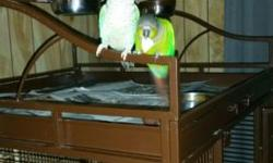 I have a female turquoise conure and a male green cheek conure . They are two years old and a lot of fun. Nibbles tells you step up and peek a boo and will tell you he is a naughty bird. They have to stay together and the come with there cage that I just