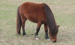 I have two miniature ponies for sale they are $300 each. Or you can get them both for $500. They have been in the pasture with big horses and cows and goats and sheeps and chickens and they get along great with all of them. They are not mean at all. One