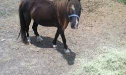 """We have two miniature horses that we need to find a new home for. Mare """"Star"""" is brown with white socks, a white star, one blue eye and one brown eye. Colt """"Atom"""" is white/tan with blue eyes. Both are halter broke and walk well on a lead rope. Work fairly"""