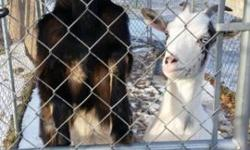Two beautiful young Nigerian dwarf goats sold as pets or dairy goats. Both friendly and healthy. Brownie(brown &black) is a buck and intact. He does display head butting as typical bucks will. Mama(white & black) is a doe and has been paired with brownie