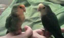 Meet Peggy and Kiki. Kiki is a male Peach Faced Lovebird aged around 9. Peggy is a female Peach Faced Lovebird aged at around 9 as well. I bought Kiki when he was 1 from a local pet store and have had him ever since, he has had no health issues at all. I