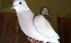 Hi there, I am rehoming my two ringneck doves Sokanon (rain in Algonquin Lang.) and Takoda (friend to everyone in Sioux Lang.) Both are males and do coo. :) I am rehoming them because they do not get along with my females. I have them seperated at the