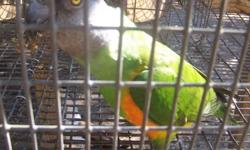 My Senegal's are very sweet and under one year old. Senegal's are fun and playful bird's. They are not loud bird's at all. Each one of my bird's come's with their cage's, if you want it. If interested please e-mail me. They need to go soon Thank You