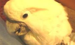 I have a very Friendly Cockatoo for sale, His name is Charlie, good feathers, not a plucker , he ta;ls, and loves to been on you all the time if you'd let him. Having to sell cause of health problems. Not a caged bird, likes to be out on his perch. If you